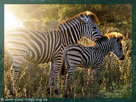 © A zebra mare and her foal at Suni-Ridge Sand Forest Park