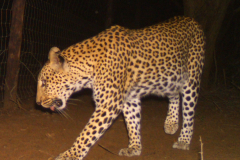 One of Suni-Ridge's beautiful leopard photographed on a cam camera.