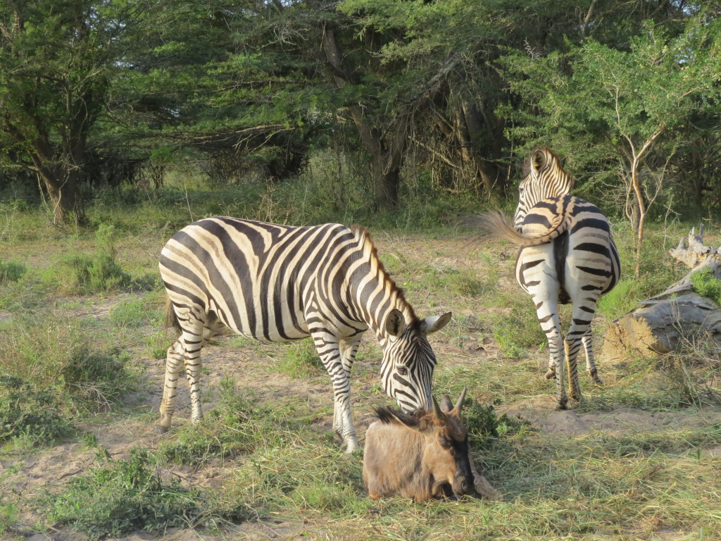 Zebra and his own herd of wildebeest were all close by. The zebra sniffed him and was concerned.