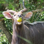 NYALA EATING MONKEY APPLE