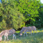 ZEBRA AT RARE MAPATULAND ODEAL TREE. ON OUTSKIRTS OF OUR FOREST