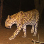 one of our beautiful leopard captured on cam camera